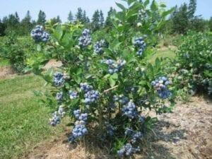 blueberries-growing-portland-landscape