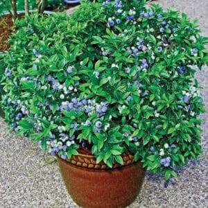 patio-blueberry-bush