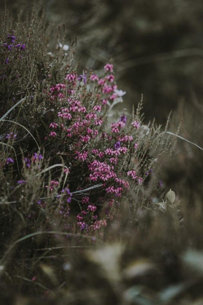heather-flower
