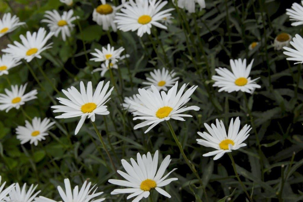 Shasta_daisies