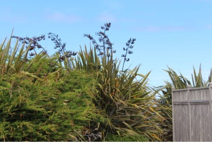 phormium plants blowing in the beach wind