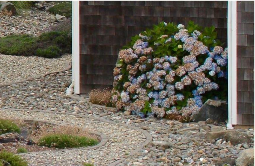 beautiful hydrangeas do great on the coast