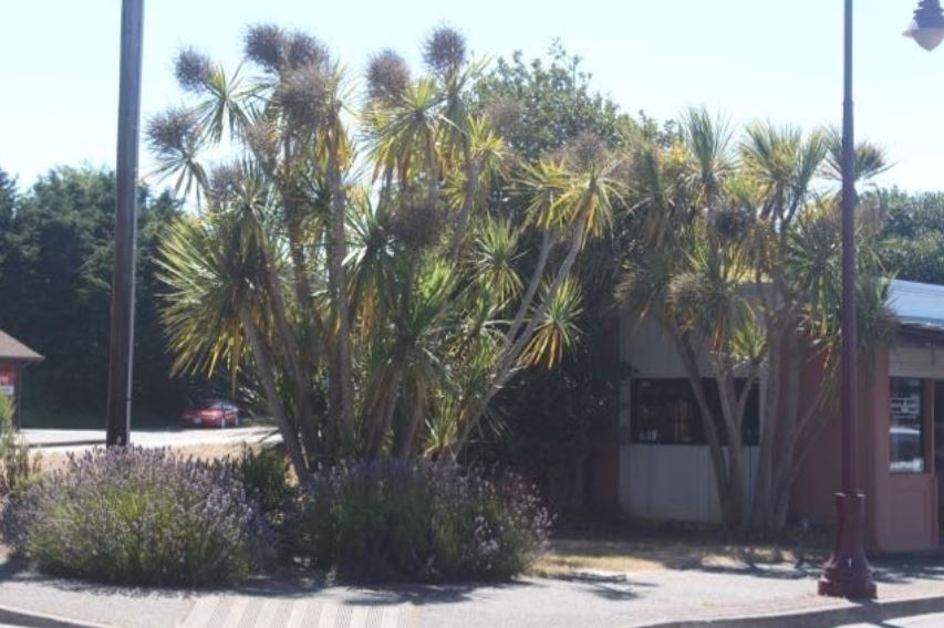 Cordyline Astralis is a california beach plant that exists in southern oregon