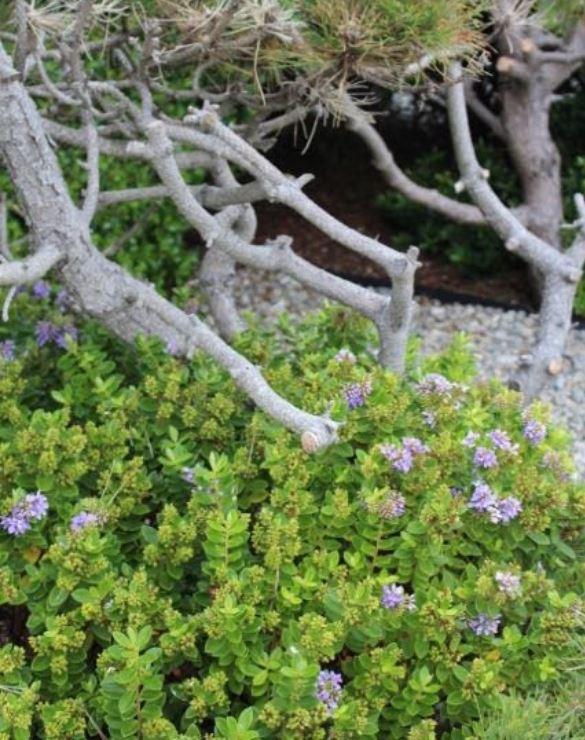 Hebes beach plants coastal breeze