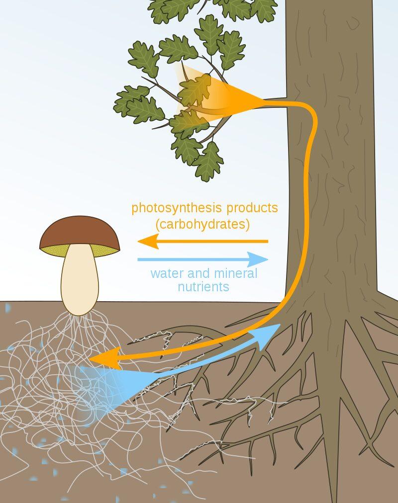 mycorrhizae-benefits