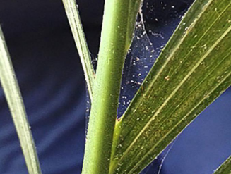 Spider mites are a pest to indoor plants